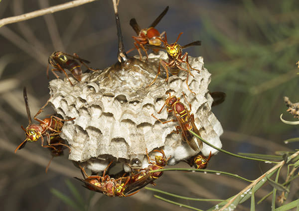 Paper-Wasp-3